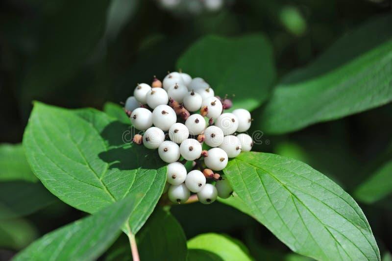 Symphoricarpos albus Blake snowberry. Shrub with berries stock images