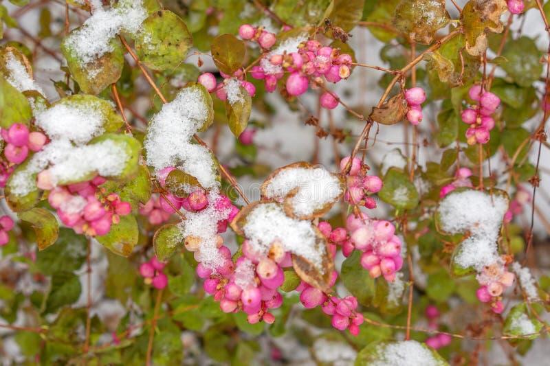 Symphoricarpos, conhecido geralmente como o snowberry, o waxberry, ou o gh imagens de stock royalty free