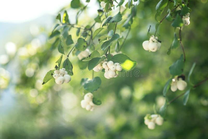 Symphoricarpos, white berry ornamental plant stock photo