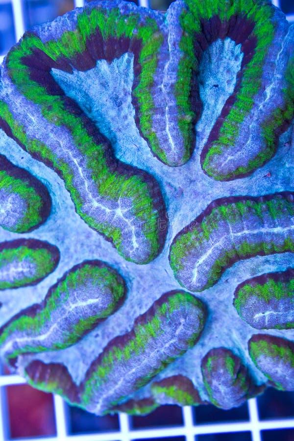 Symphyllia-Gehirnkoralle stockbild
