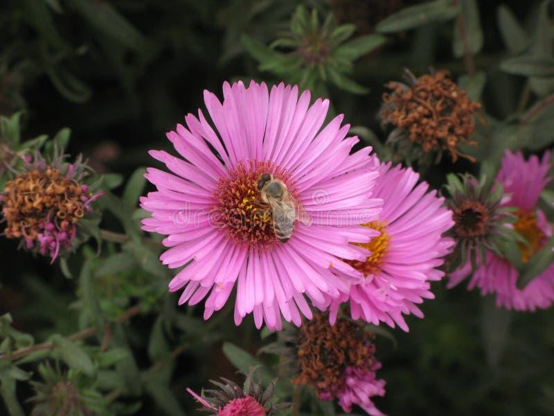 Symphyotrichum novi-belgii或弗吉尼亚翠菊和蜂 图库摄影