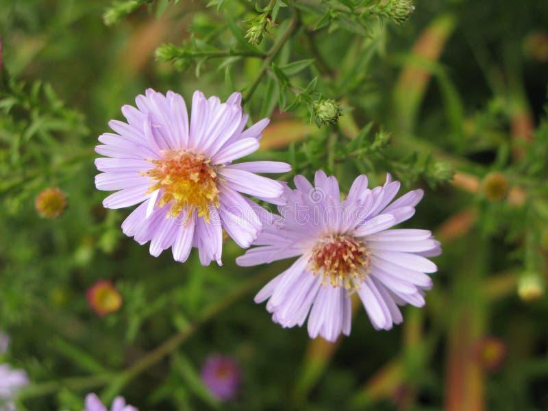 Symphyotrichum novi-belgii或弗吉尼亚翠菊 库存照片