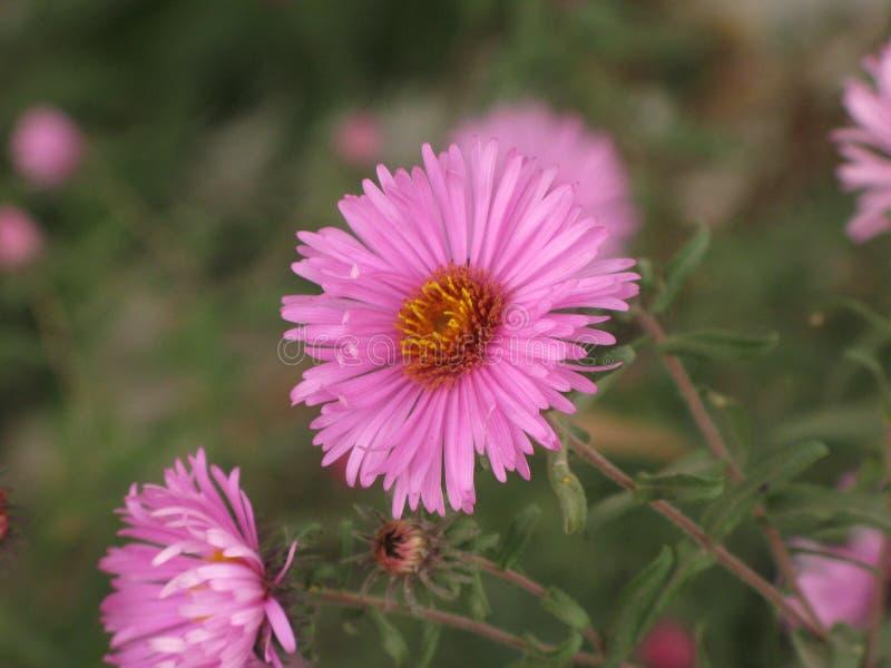 Symphyotrichum novi-belgii或弗吉尼亚翠菊 免版税图库摄影