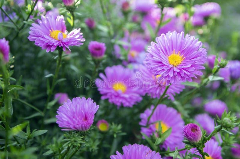 Symphyotrichum novi-belgii New York aster ornamental autumn plant in bloom. Violet flowers royalty free stock photos