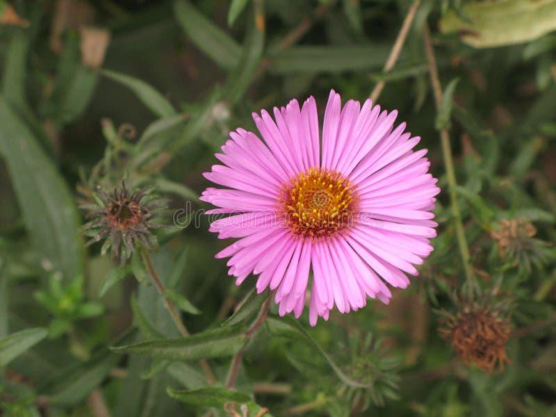 Symphyotrichum novi-belgii or virginia aster. Symphyotrichum novi-belgii Flower or Virginia pink aster stock image