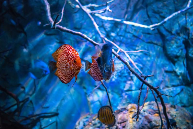 Symphysodon discus in an aquarium on a blue background. Symphysodon discus in an aquarium on a blue stock photography