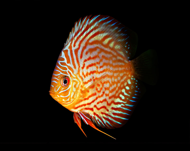 Symphysodon Discus on black. Symphysodon Discus fish isolated on a black background stock images