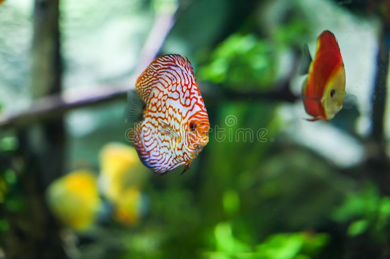 Symphysodon discus funny colorful fish in an aquarium on a green background royalty free stock photography