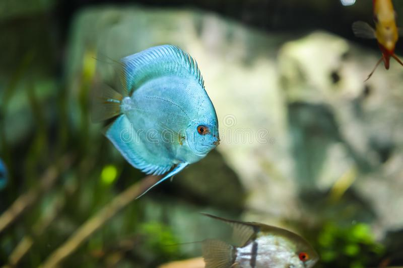 Symphysodon discus funny colorful fish in an aquarium on a green background royalty free stock photo