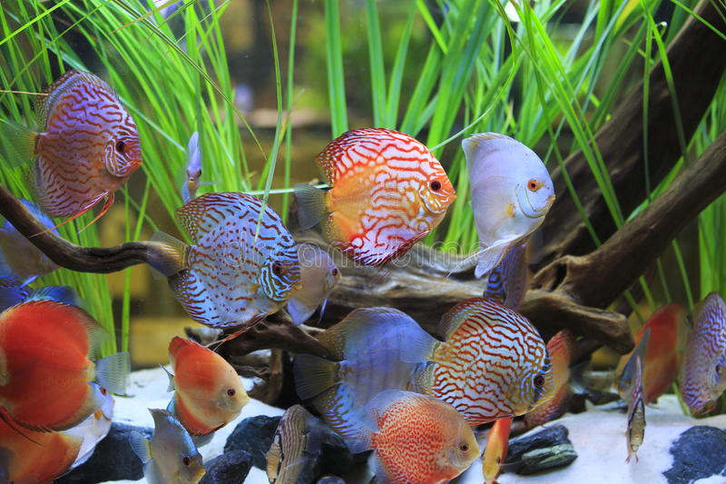 Symphysodon discus. In a tank with aquatic plants royalty free stock image