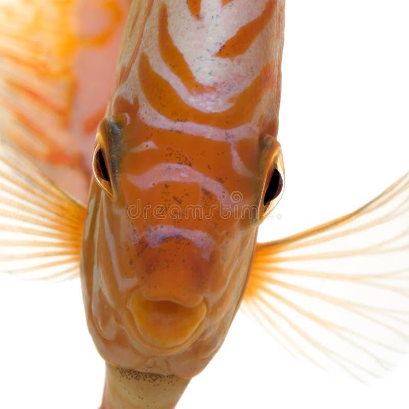 symphysodon för duva för fisk för aequifascbloddiskus fotografering för bildbyråer