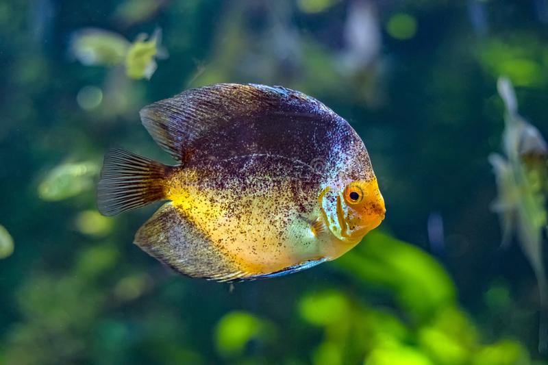 Symphysodon, known as discus, is a genus of cichlids native to the Amazon river basin in South America. The fish has grey an yellow color. Background is green stock image
