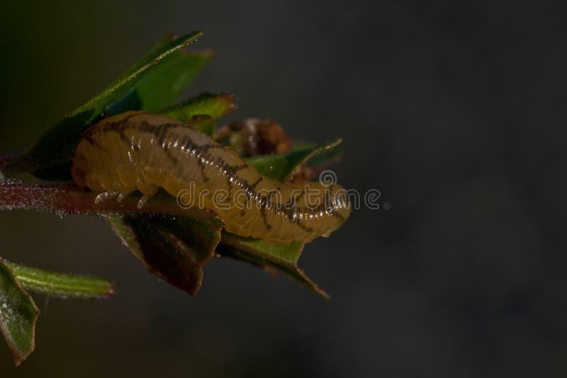 Symphyta arkivbild