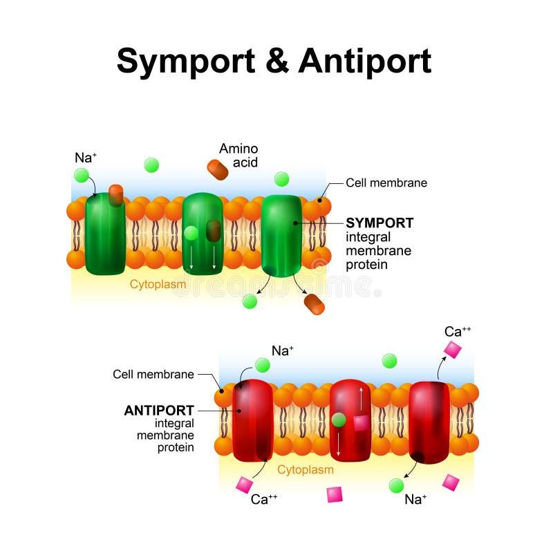 Symport et antiport systèmes de transport de membrane cellulaire illustration de vecteur