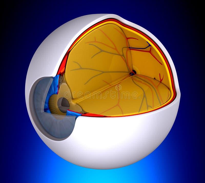 Syna verklig mänsklig anatomi för tvärsnittet - på blå bakgrund royaltyfri illustrationer