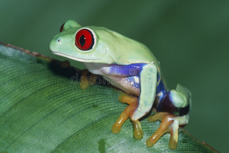 synad röd treefrog royaltyfri fotografi