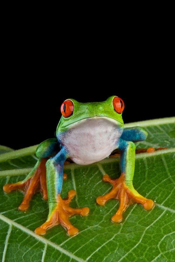 synad röd treefrog royaltyfria foton