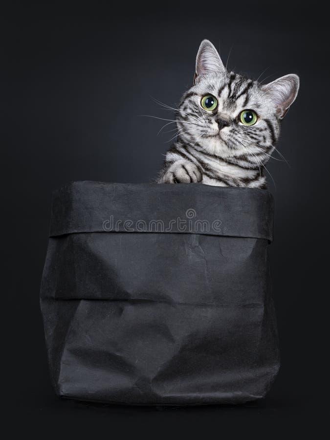 Synade flammig gräsplan för den utmärkta svarta silverstrimmiga katten den brittiska Shorthair kattungen som isolerades på svart  royaltyfria bilder