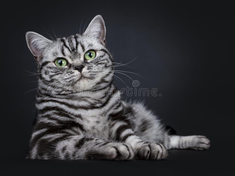 Synade flammig gräsplan för den utmärkta svarta silverstrimmiga katten den brittiska Shorthair kattungen som isolerades på svart  arkivfoton