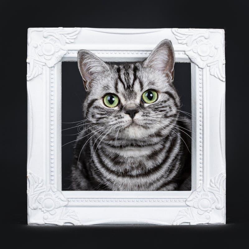 Synade flammig gräsplan för den utmärkta svarta silverstrimmiga katten den brittiska Shorthair kattungen som isolerades på svart  royaltyfri fotografi