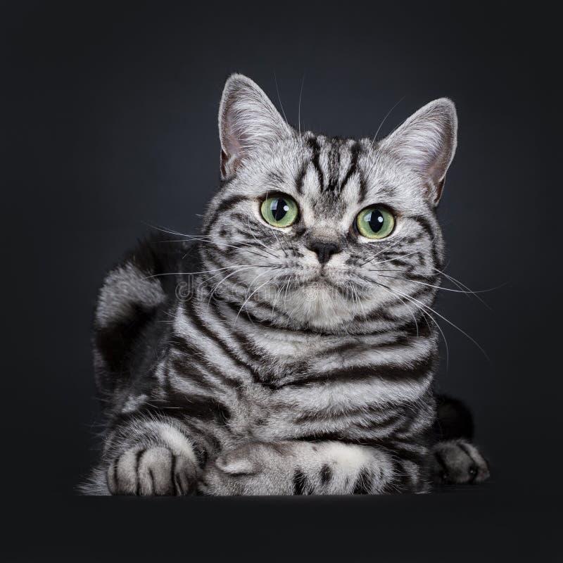 Synade flammig gräsplan för den utmärkta svarta silverstrimmiga katten den brittiska Shorthair kattungen som isolerades på svart  arkivbilder