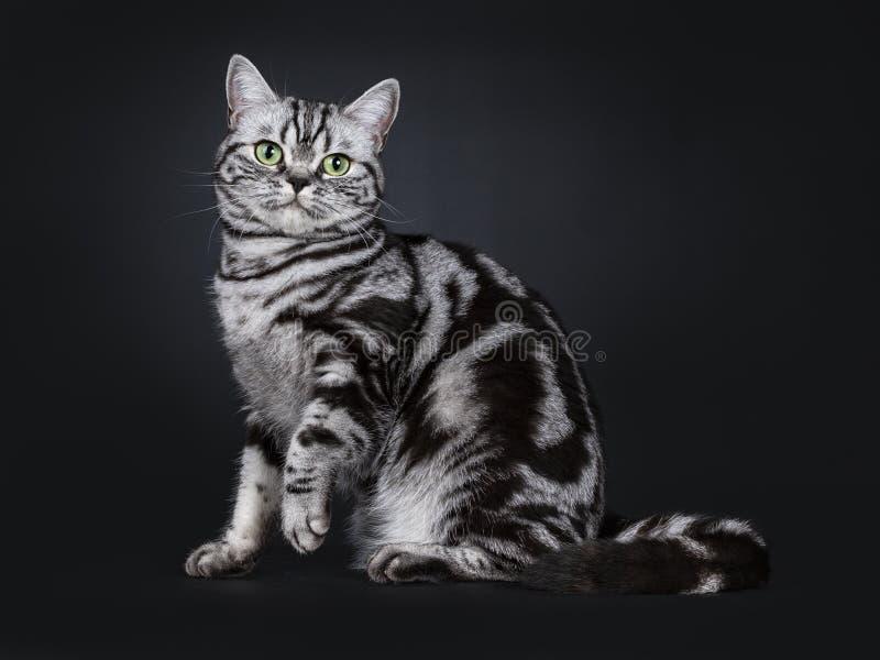 Synade flammig gräsplan för den utmärkta svarta silverstrimmiga katten den brittiska Shorthair kattungen som isolerades på svart  arkivfoto