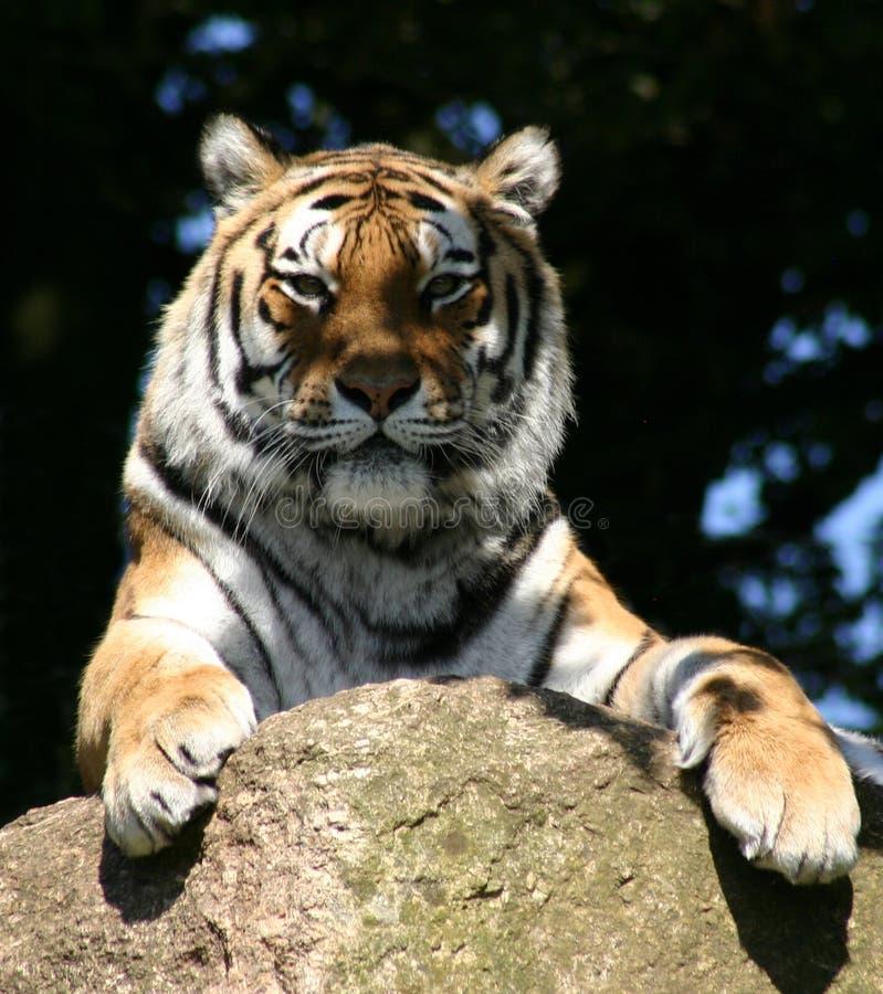 Synade stirrandet för tiger` s den förkylning royaltyfri fotografi