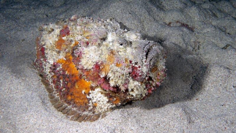 Synanceiaverrucosa of een gemeenschappelijke Stonefish royalty-vrije stock foto