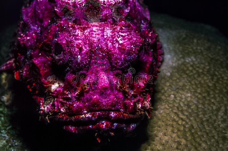 Synanceiaverrucosa, ertsader stonefish royalty-vrije stock afbeeldingen