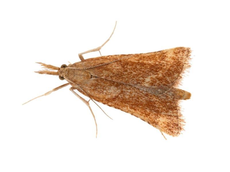 Synaphe punctalis är en mal i Pyralidaefamiljen Litet brunt Här isolerat på vit bakgrund royaltyfri foto