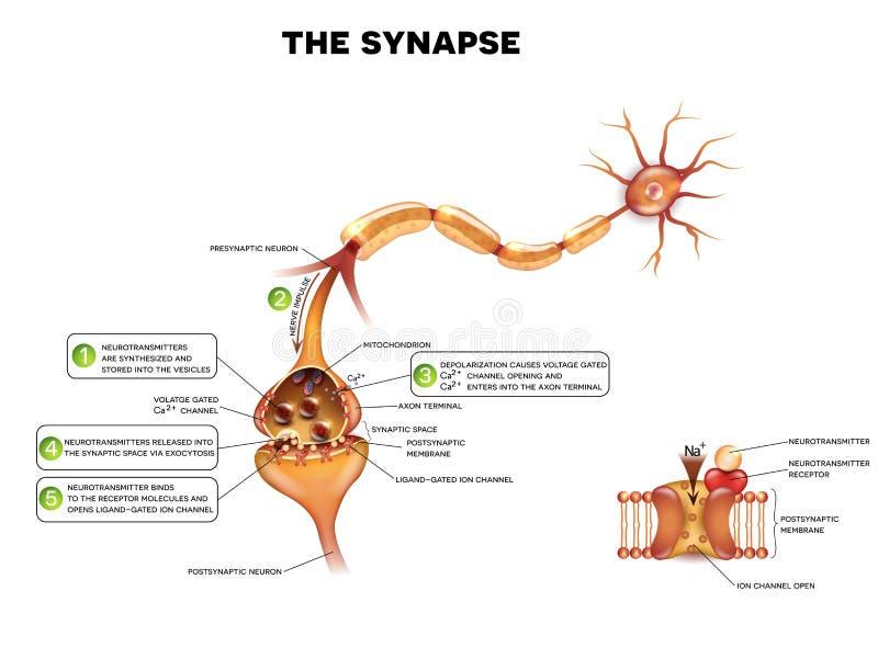 synapse royaltyfri illustrationer
