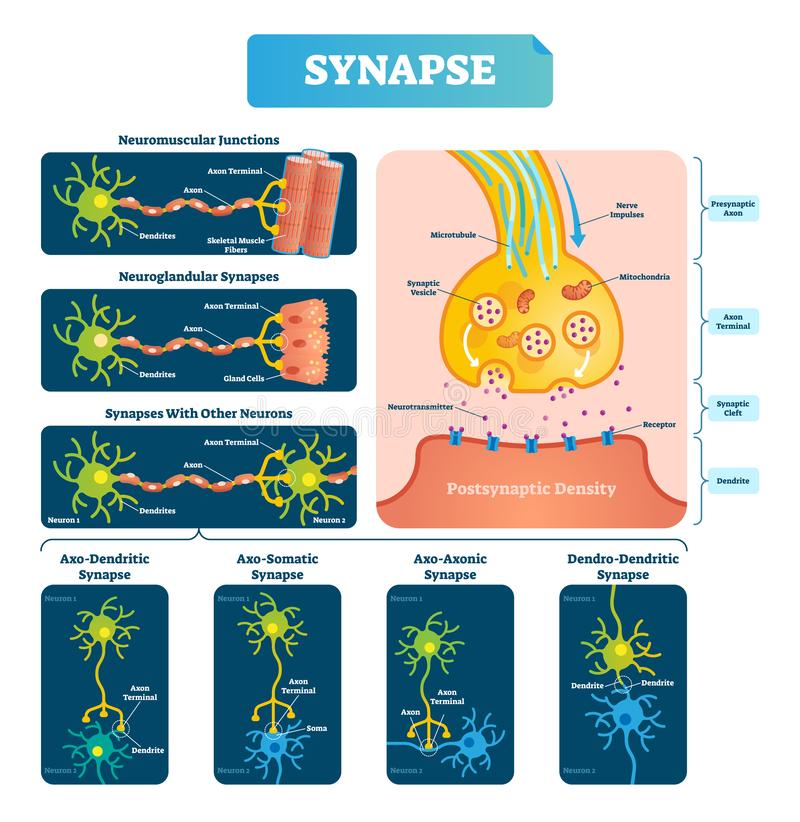 Synapse vector illustration. Labeled diagram with neuromuscular example. stock illustration