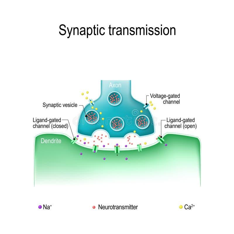 Synaptische transmissie Structuur van chemische synaps stock illustratie