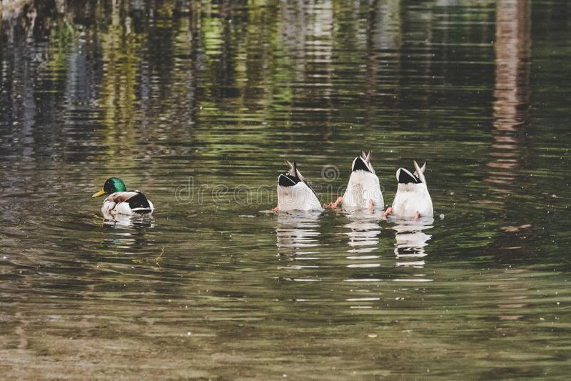 Synchronized diving ducks stock photography