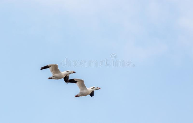 Synchronized Flight for These Snow Geese in Baie Du Fèvre, Québec, Canada. Snow Goose. Synchronized Flight for These Two Snow Geese in Baie Du Fèvre royalty free stock photo