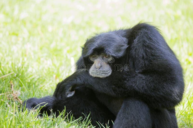 Syndactylus do Symphalangus de Siamang Gibbon imagens de stock