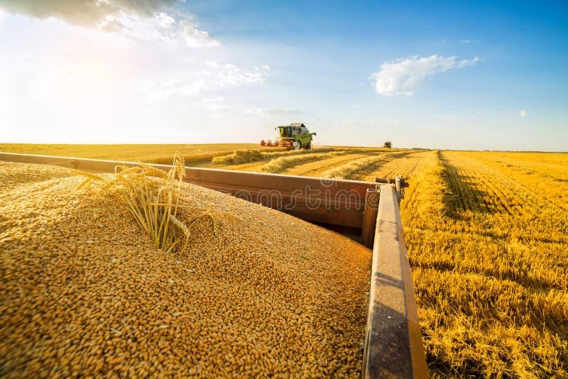 Syndykata żniwiarz w akci na pszenicznym polu obrazy royalty free