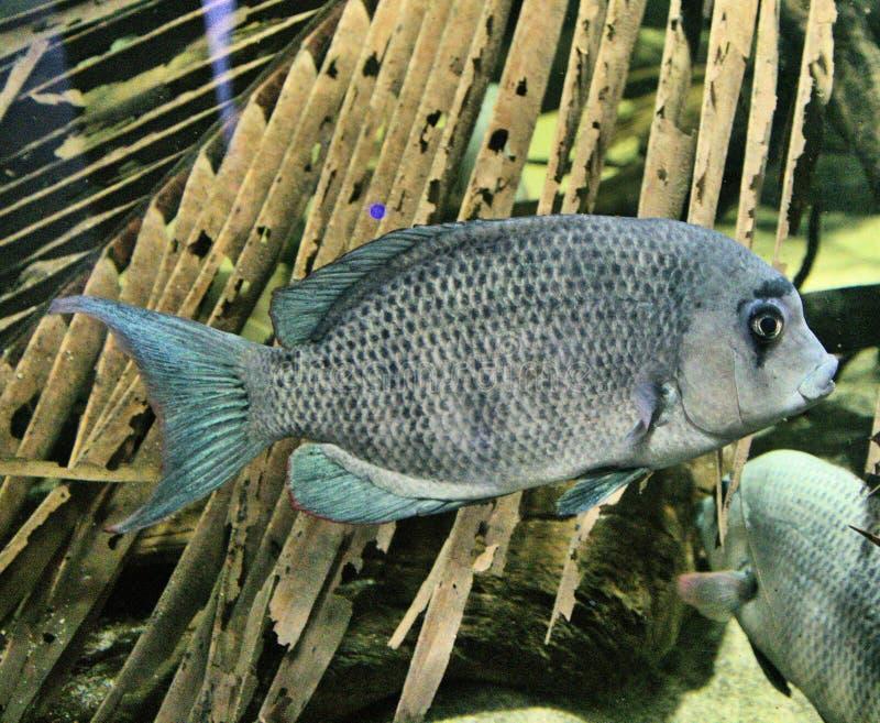 Synen på en Pinstripe Danba Fish fotografering för bildbyråer