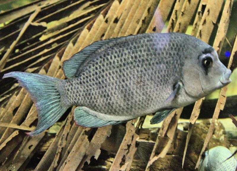 Synen på en Pinstripe Danba Fish royaltyfria foton