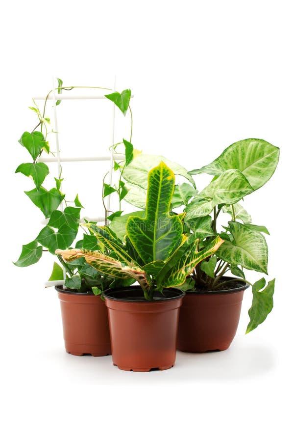 Syngonium, croton i inne doniczkowe rośliny, obraz stock