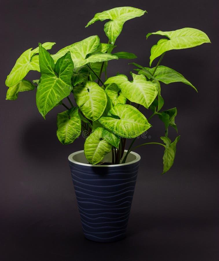 Syngonium in fiori grigi dei vasi in vasi su un fondo scuro immagine stock libera da diritti