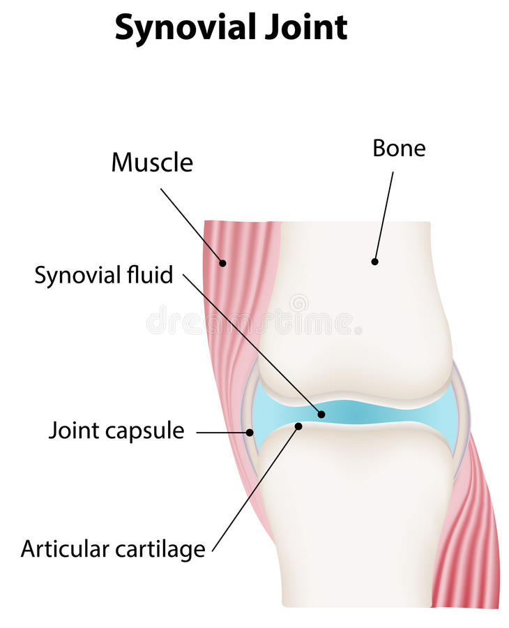 Synovial joint diagram labeled stock vector image 39898469 download synovial joint diagram labeled stock vector image 39898469 ccuart Images