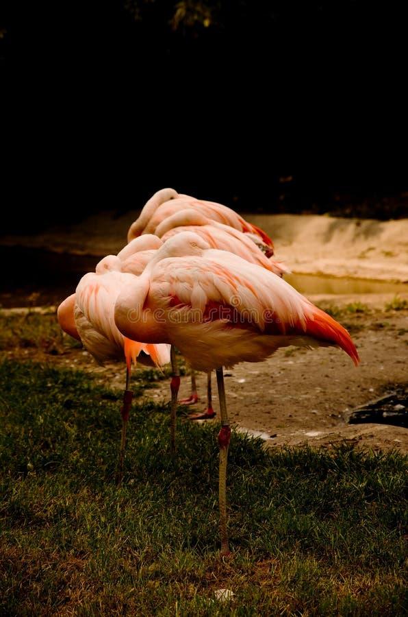 Sypialni flamingi fotografia stock