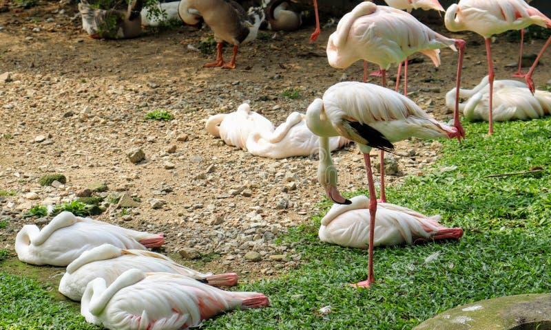 Sypialni flamingi 1 zdjęcie royalty free