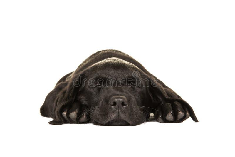 Sypialny śliczny czarny Labrador retriever zdjęcia royalty free
