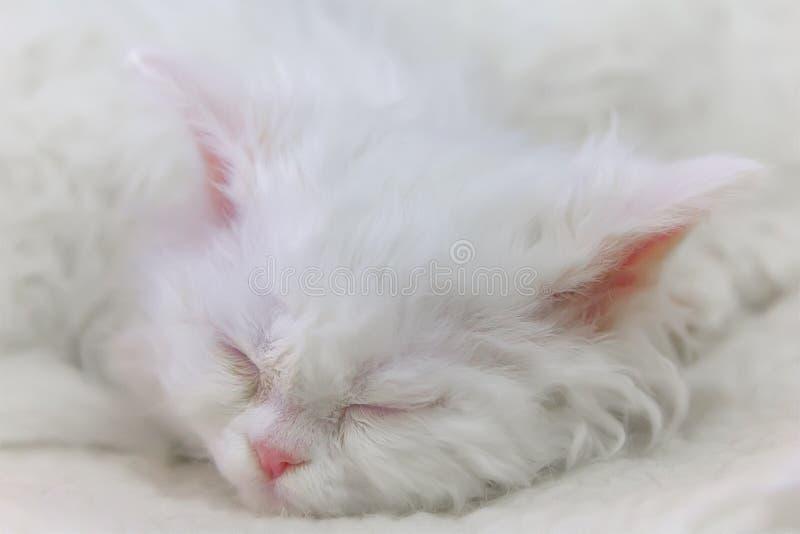 Sypialny biały figlarka traken Selkirk Rex zdjęcie stock