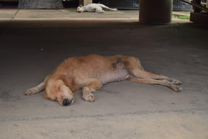 Sypialny brązu pies i bielu pies fotografia royalty free