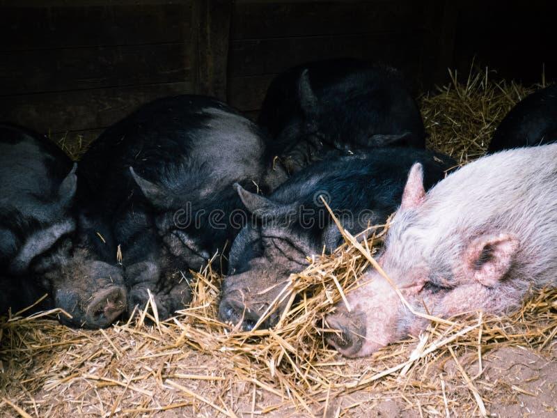 Sypialny stos świnie obrazy stock