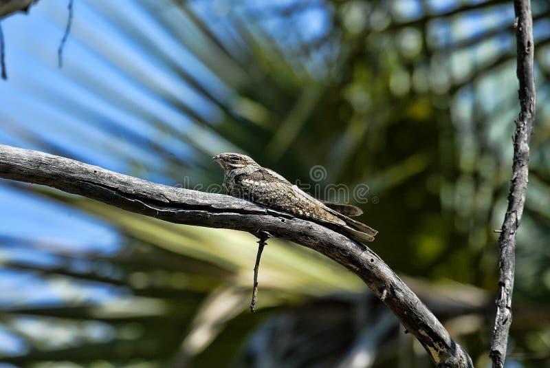 Sypialny Tawny frogmouth, Podargus strigoides, Południowy Luangwa, zambiowie fotografia stock