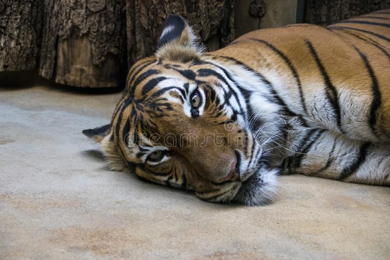 Sypialny tygrys w zoo zdjęcia royalty free